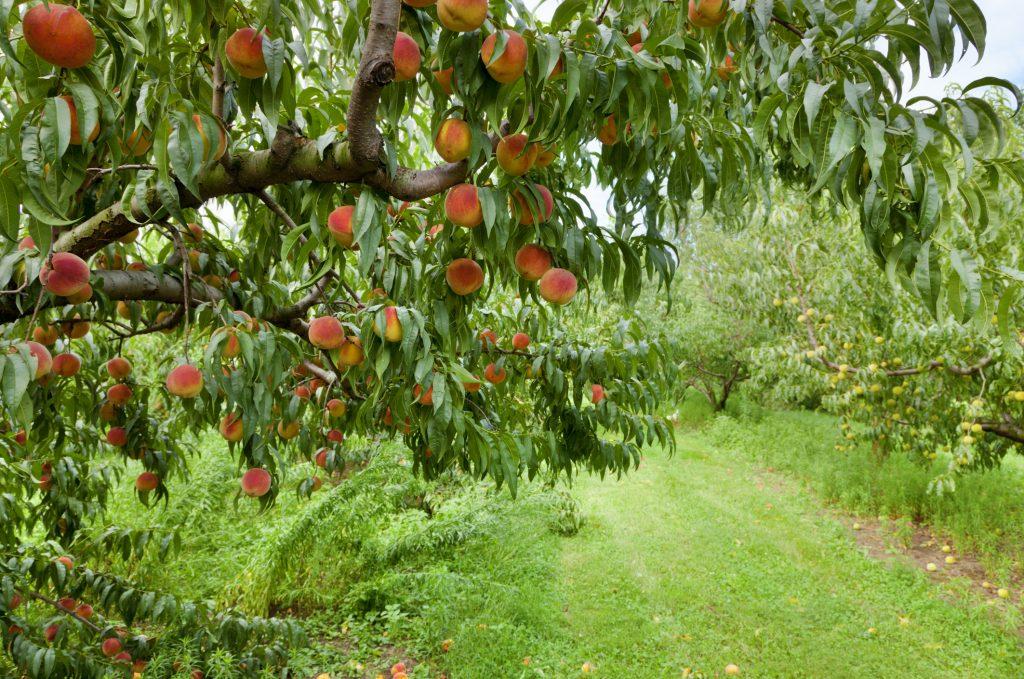 Peach tree showing peaches