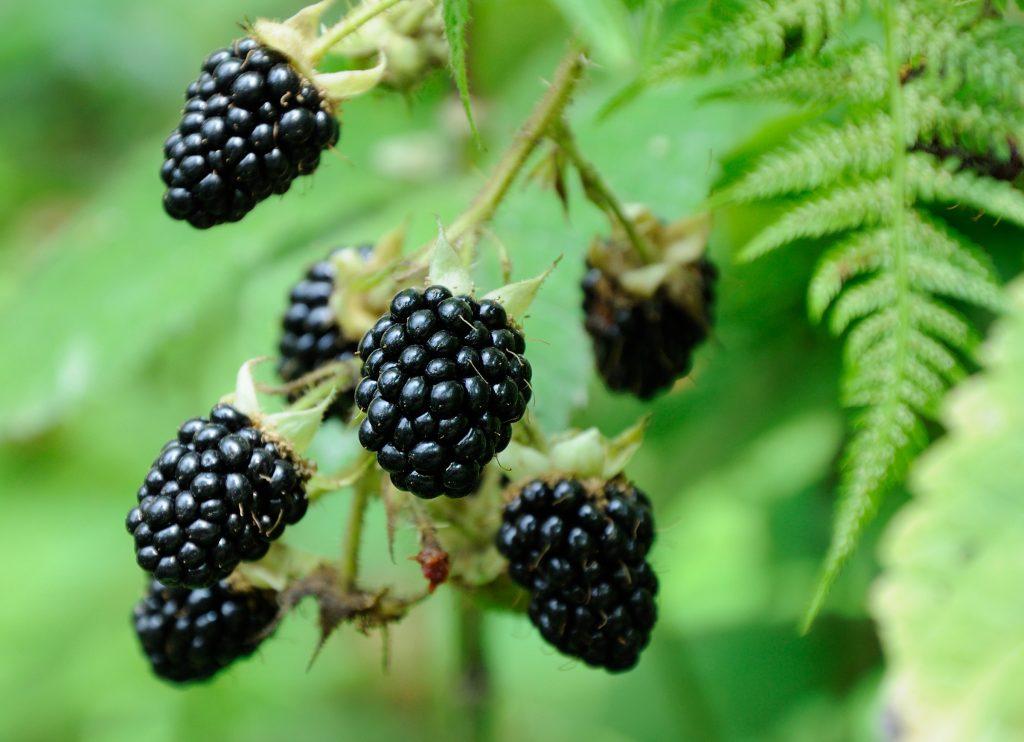 Blackberries hanging on bush