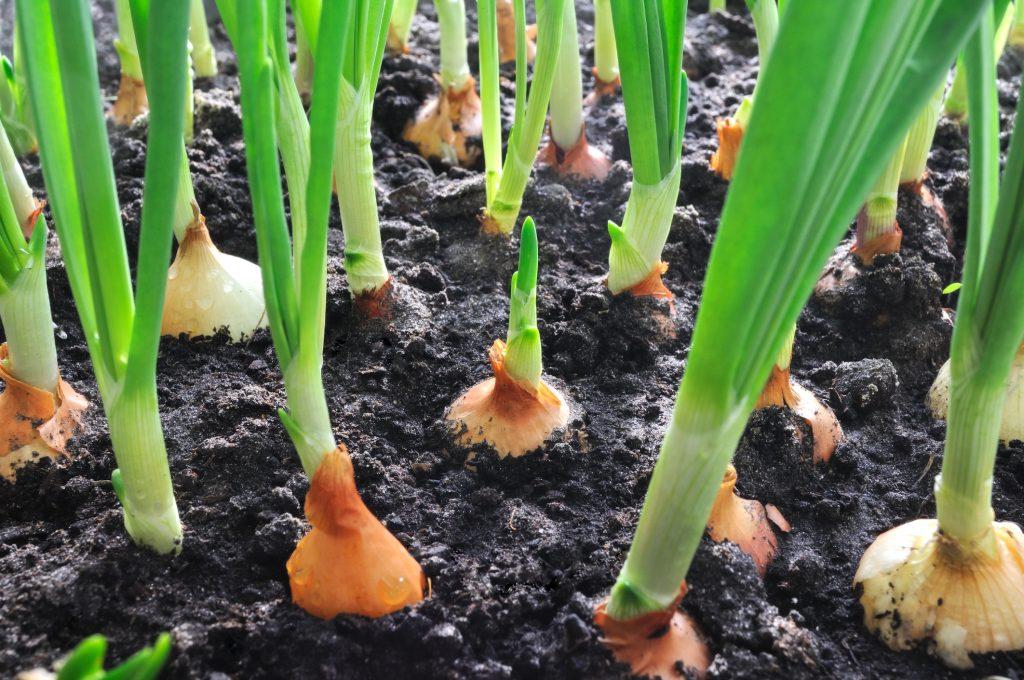 Onions growing in dark soil