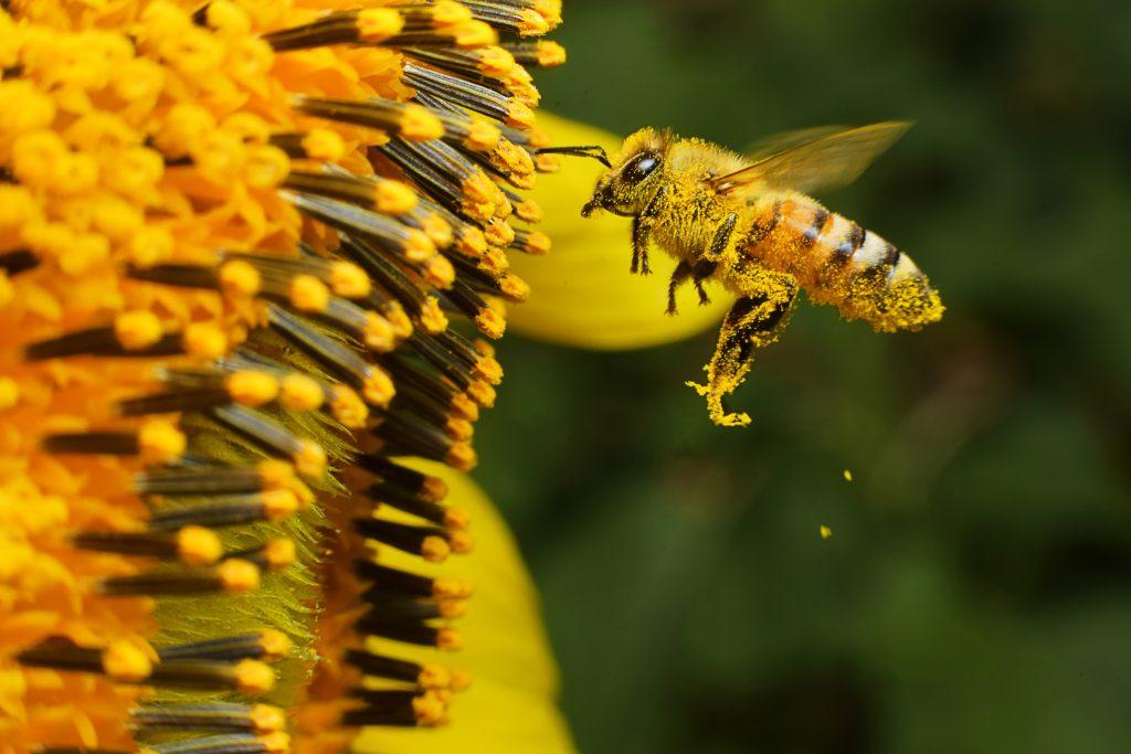 Honeybee pollinating sunflower