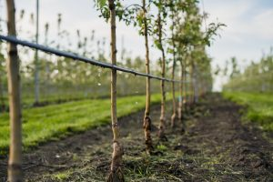 Young apple trees being held up by drip irrigation rigid hose