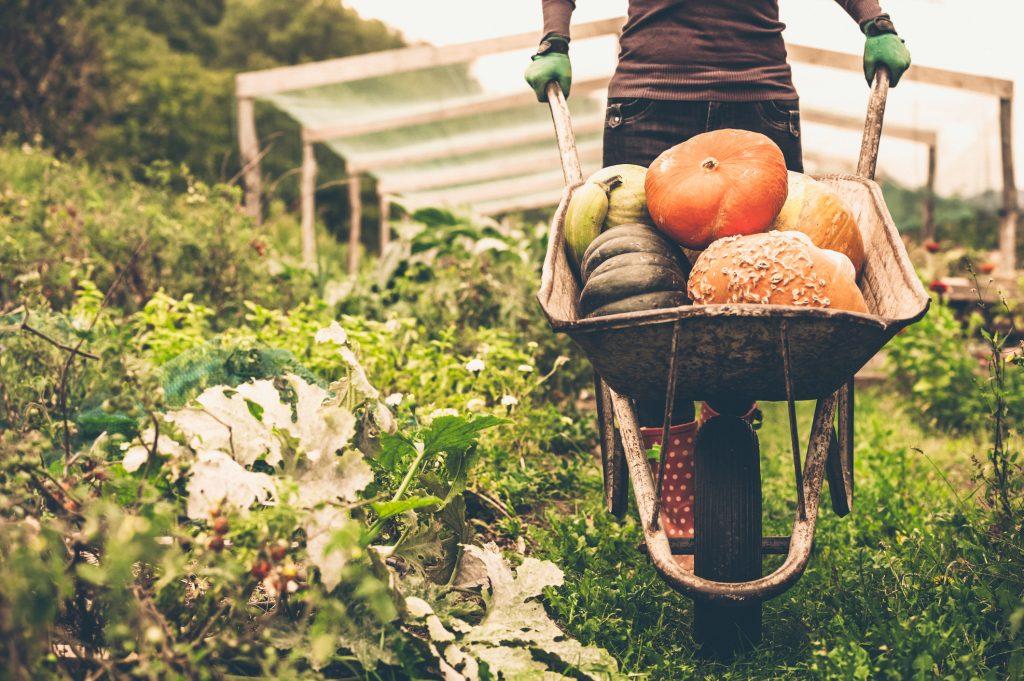 Woman pushing wheelbarrow full of pumpkins during fall gardening